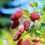 Bei Beeren handelt es sich um ein regelrechtes Super-Food. Damit die Sträucher im Naschgarten auch prächtig gedeihen sollten Sie ein paar Dinge beachten.