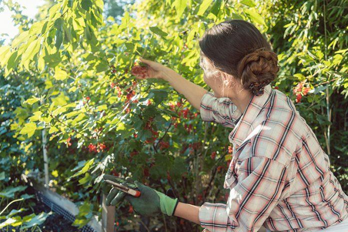 Dass die Beeren in Nachbars Garten so prächtig gedeihen, könnte am regelmäßigen Strauchschnitt liegen.