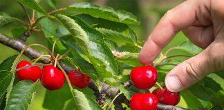 Süß, lecker und gesund: Ungespritzte Früchte der Obstbäume aus dem eigenen Garten sind ein Hochgenuss.