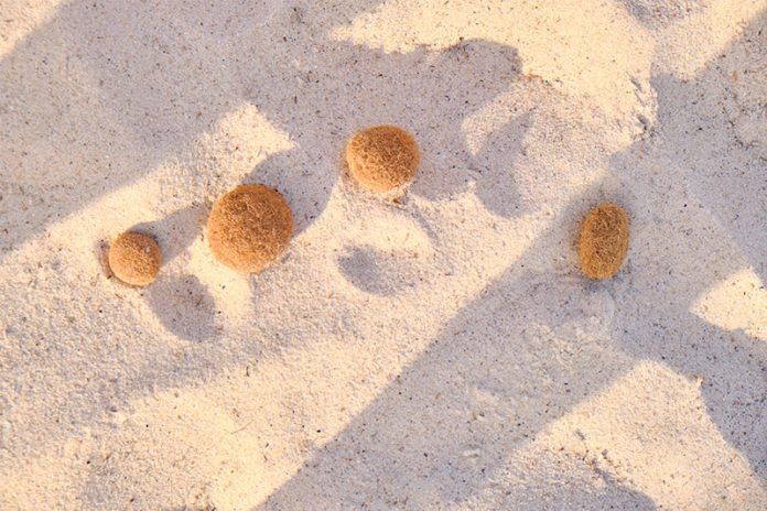 Neptunbälle sind das Ausgangsmaterial für den Öko-Dämmstoff.