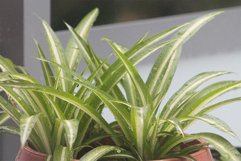 Die Grünlilie gilt unter den Wohnzimmerpflanzen als Raumklima-Wunder.